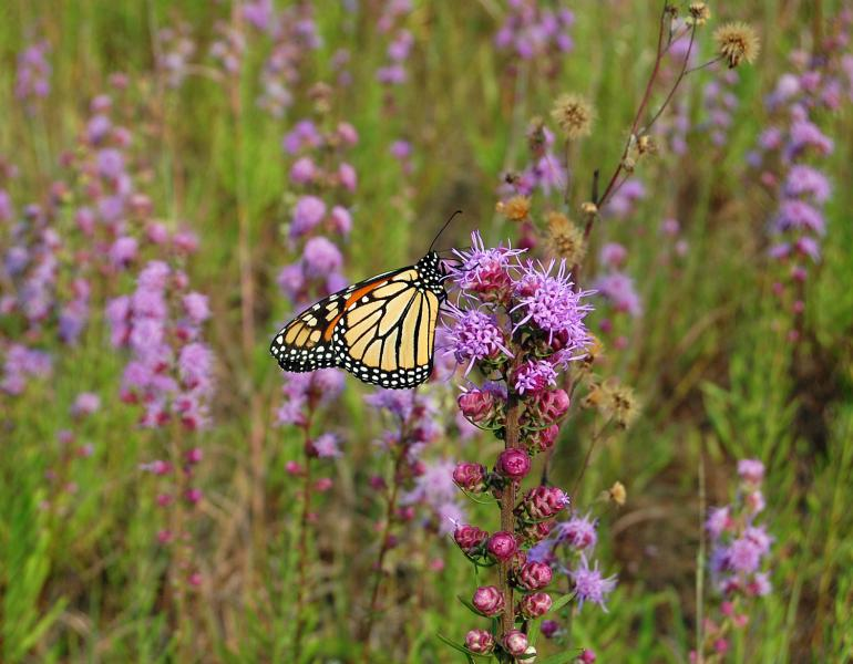 A monarch butterfly perches atop a stalk of purple flowers with thread-like petals sticking out in various directions.