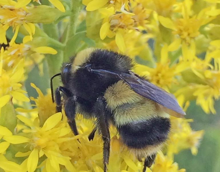 A fuzzy, yellow and black striped bee perches atop a cluster of bright yellow flowers.