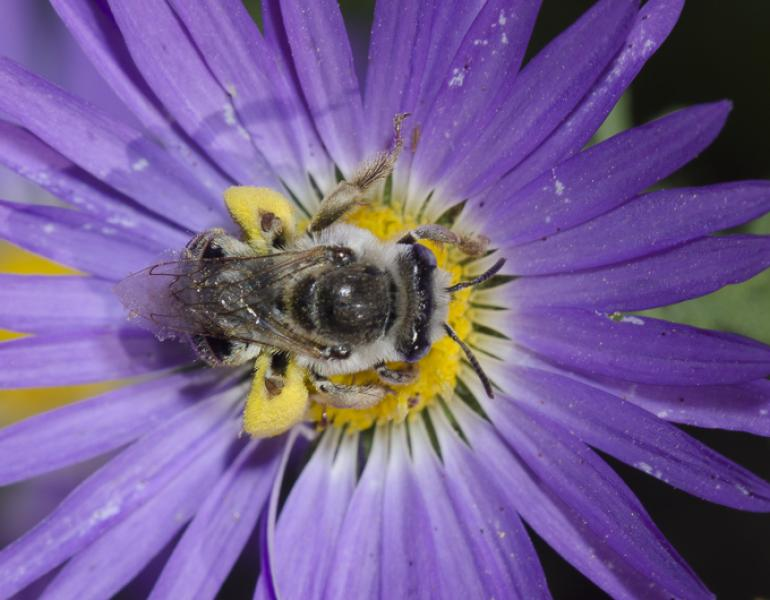 A fuzzy bee with black and gray stripes gathers pollen in the middle of a purple flower.