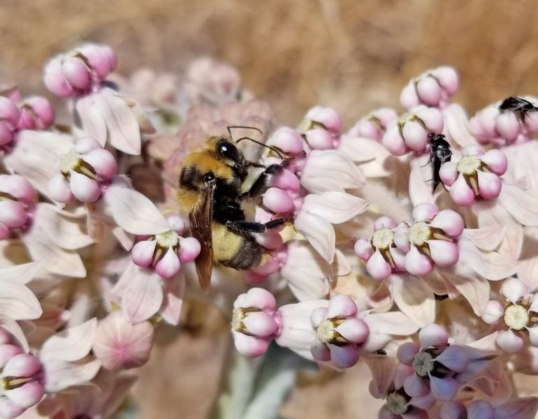 A yellow and black bumble bee drinks nectar from pale pink flowers of milkweed