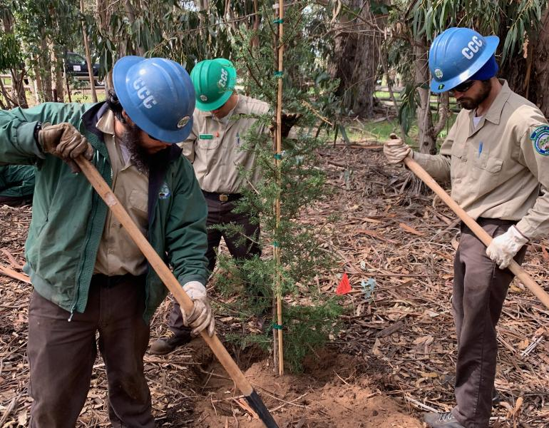 Three young men use shovels to help plant a new tree in the middle of a grove