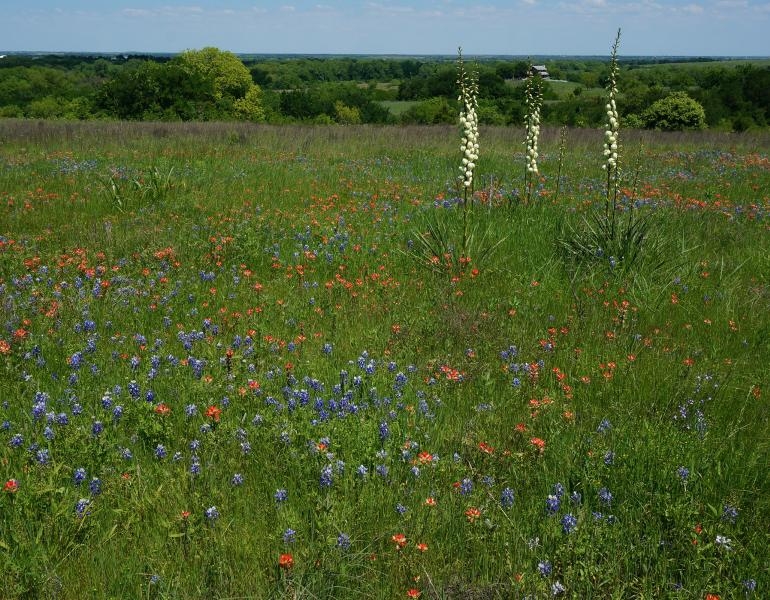 The green grass of this Texas prairie is dotted with blue lupines, red paintbrush, and creamy colored yucca