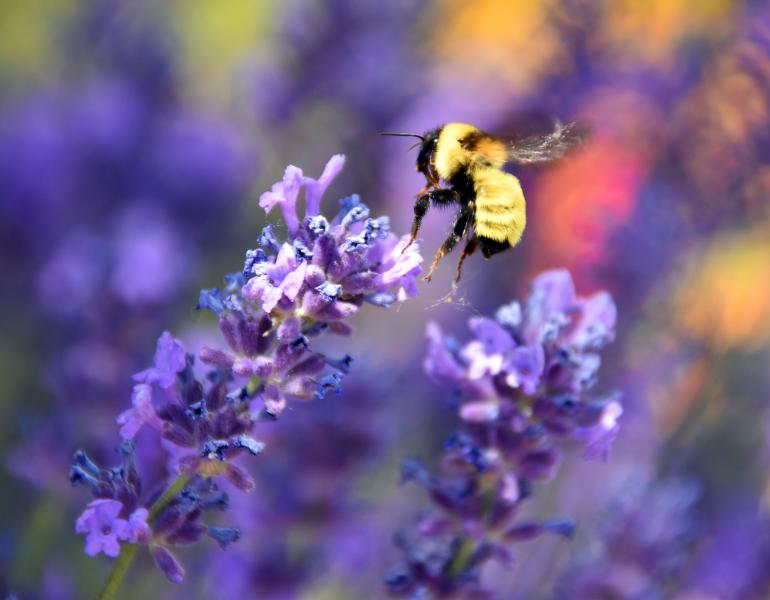 A fuzzy, primarily yellow, bee flies towards a purple sprig of flowers. The bee and the flowers are in sharp focus. The background, made up of purples and reds, is blurred.