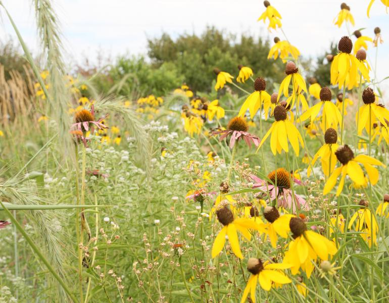 A patch of pollinator habitat on a farm in Iowa is a mass of yellow, white, and purple flowers
