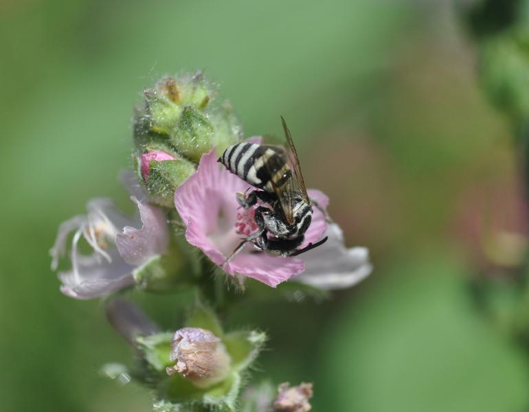 A small black-and-white striped bee is curled over with its head in a pink flower to reach the nectar