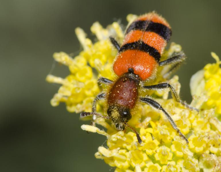 An orange-and-black striped checkered beetle foraging on yellow flowers