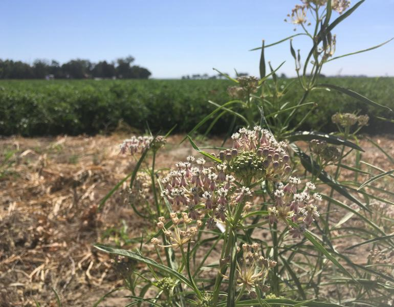 Pale pink flowers of narrow-leaf milkweed growing beside a tomato field in California's Central Valley.