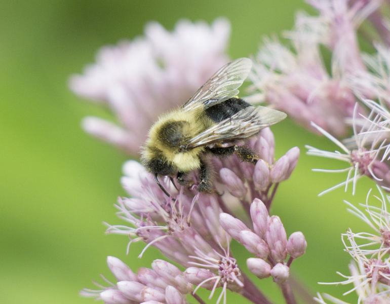 A hairy, yellow-and-black bumble bee forages on a pink flower head of joe-pye weed.