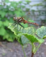 A red dragonfly perches atop a green leaf in a garden. A bit of blurred siding is visible in the background, indicating it is close to a house.