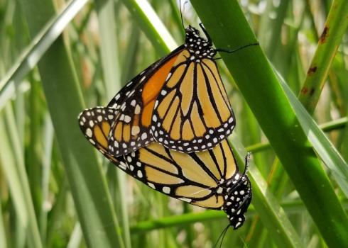 Two monarchs' wings overlap as they stand back end to back end, mating.