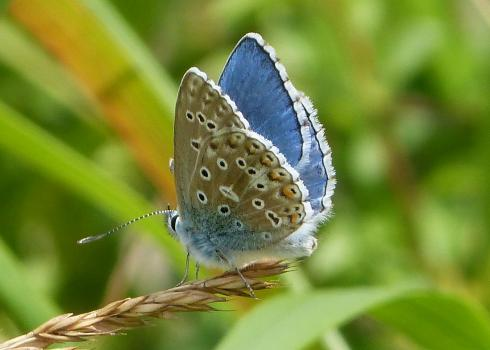 The beautiful Adonis blue butterfly perches on the end of a stalk of grass. Its wings are positioned such that the ventral and dorsal sides are shown. The inner wing is bright blue, and the outside is speckled.
