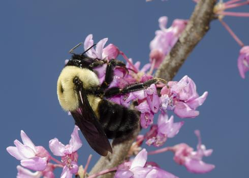 Brown-belted bumble bee nectaring on eastern redbud.