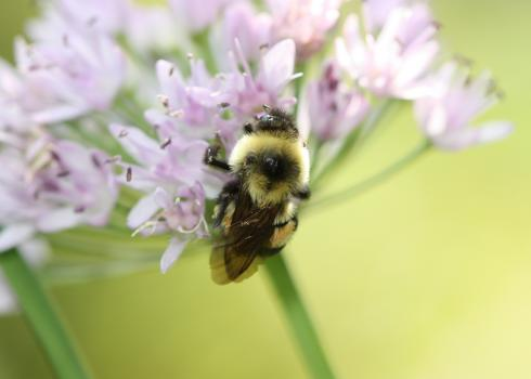 A bumble bee holds on to a group of small pale pink flowers on a single stem.