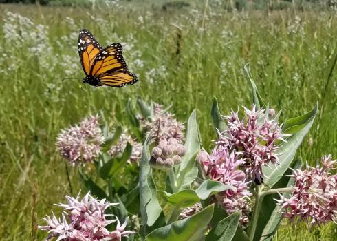 Monarch butterfly flying above milkweed.