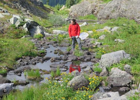 A woman in a red rain coat and gray hiking pants stands on the edge of a rocky mountain stream, holding a net, and scanning the water carefully. She is in a mountain meadow with yellow flowers.