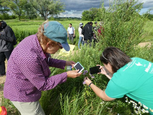 Rusty patched bumble bee (Bombus affinis) survey at Pilot Knob, MN. Two women of different ages take photos with their phones of a bumble bee on a bush.