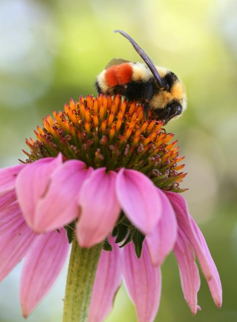 A fuzzy bumble bee with yellow and black stripes, as well as a red band near its rear, is perched atop a pink flower.